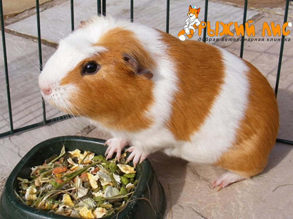 Чем кормить морских свинок в домашних условиях можно 572